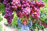 敦煌市15万亩葡萄陆续成熟上市